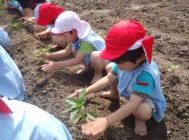 畑でお野菜栽培